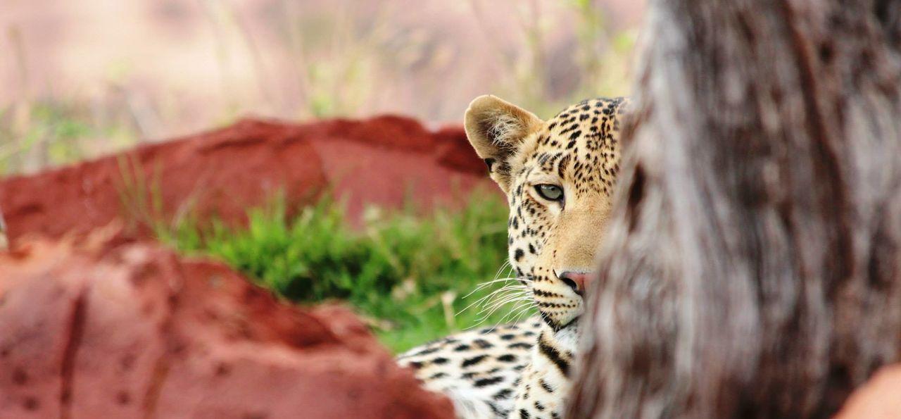 Leopard viewing at AfriCat's Okonjima Plains Camp, Namibia