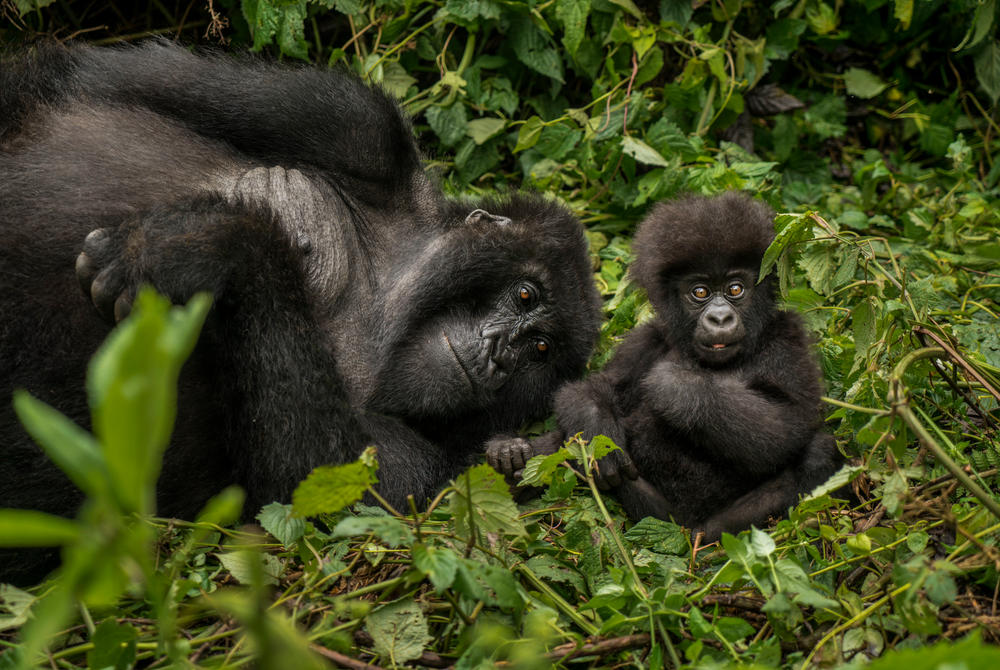 Mountain gorillas in the Virunga Mountains, Rwanda