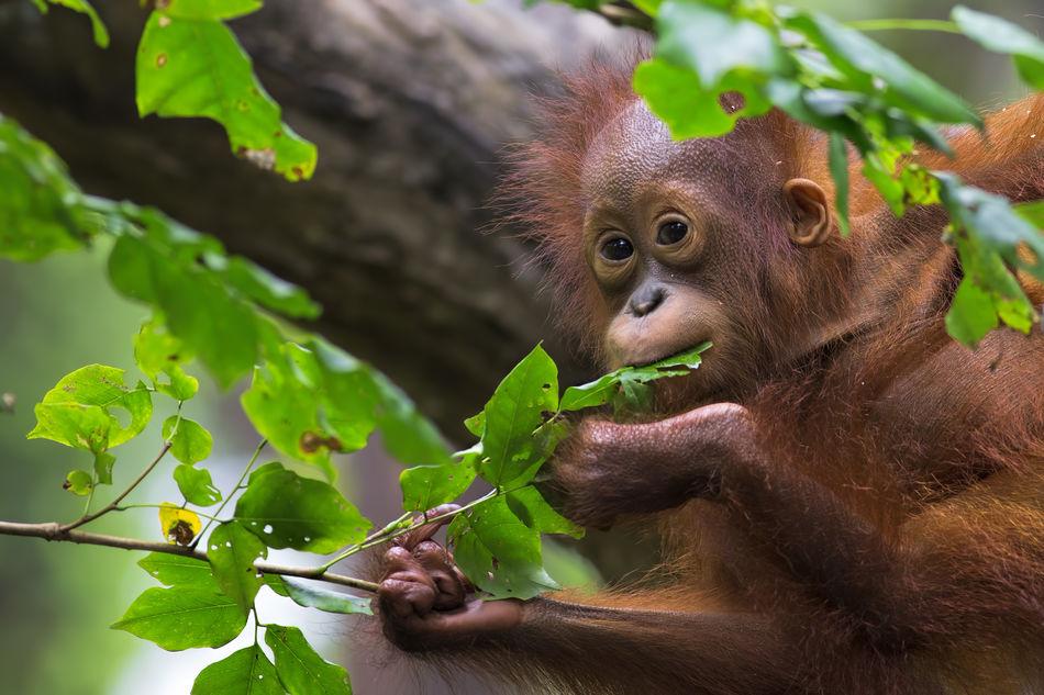 orangutan in Kalimantan, Borneo