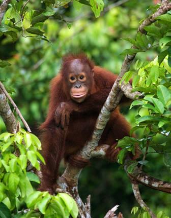 Orangutan, Kalimantan, Indonesia