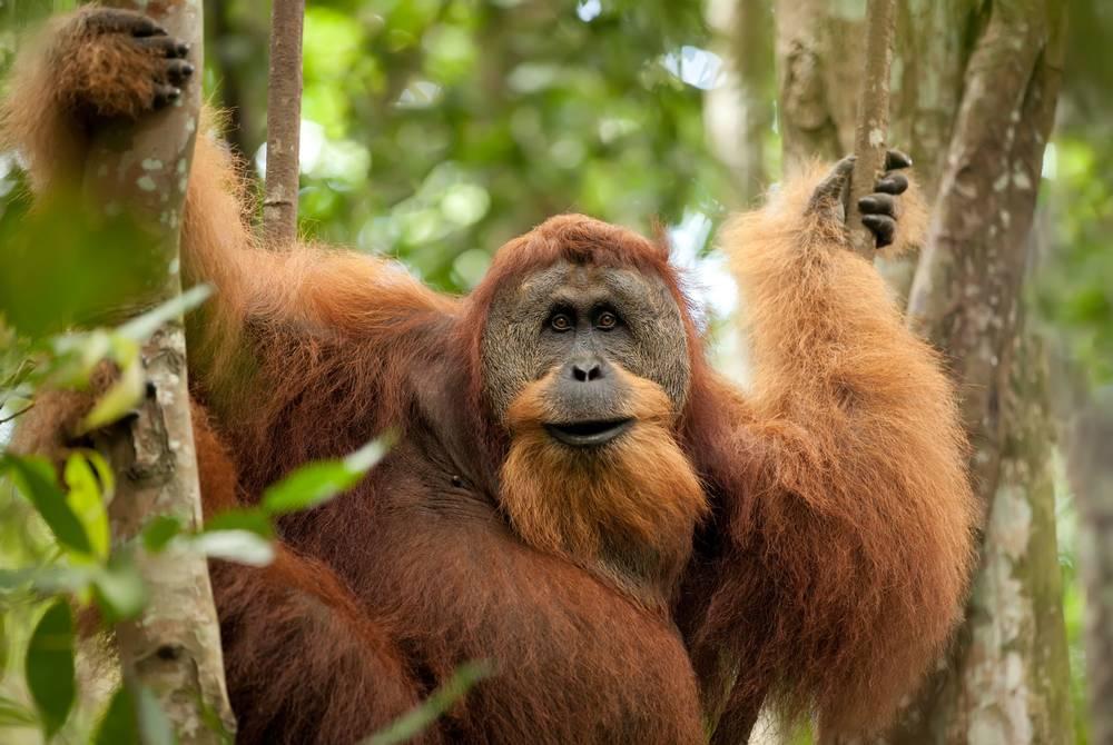 Orangutans, Indonesia