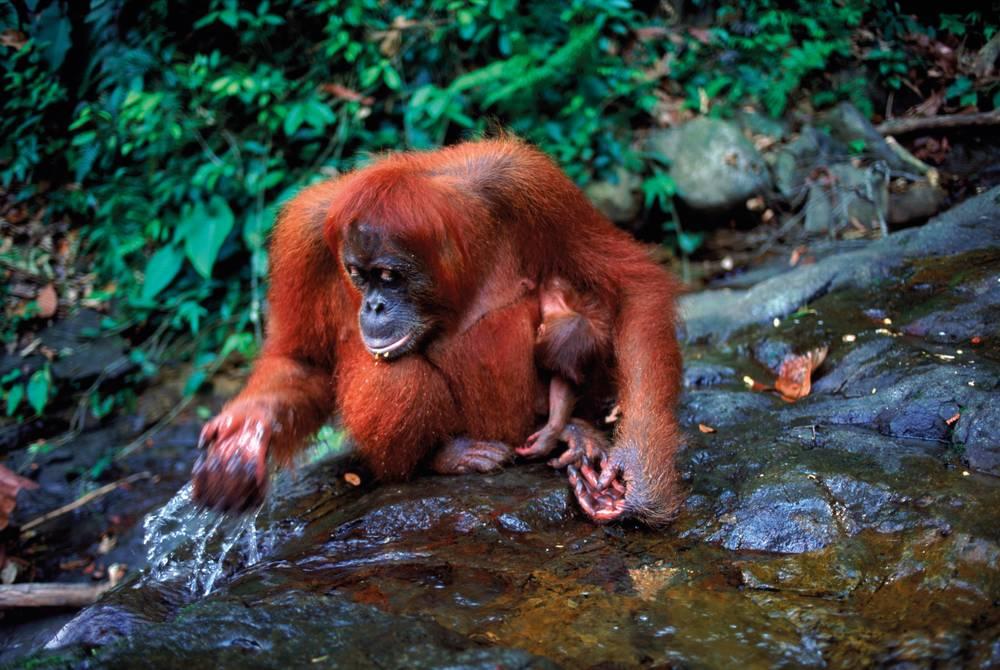 Orangutans, Gunung Leuser National Park, Sumatra, Indonesia