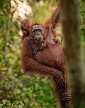 Orangutans in Borneo, Malaysia