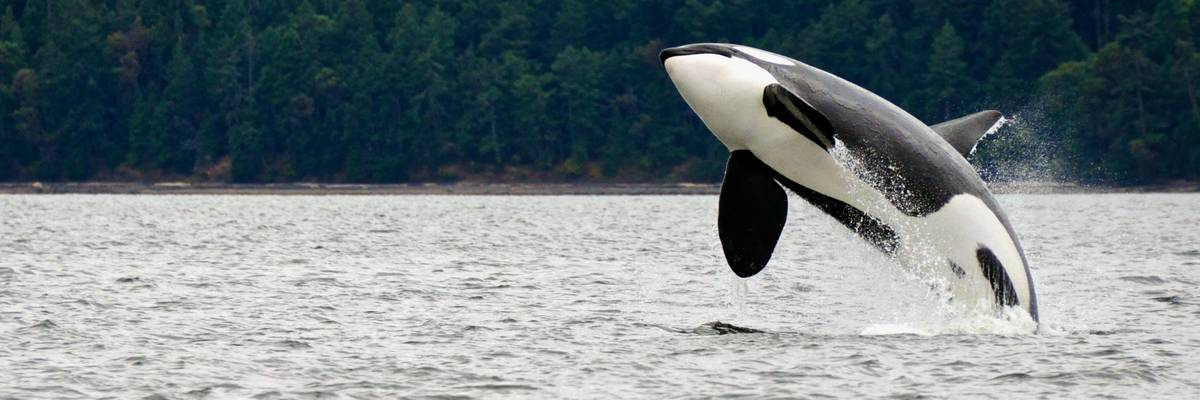 Silversea  launches a new partnership with ORCA
