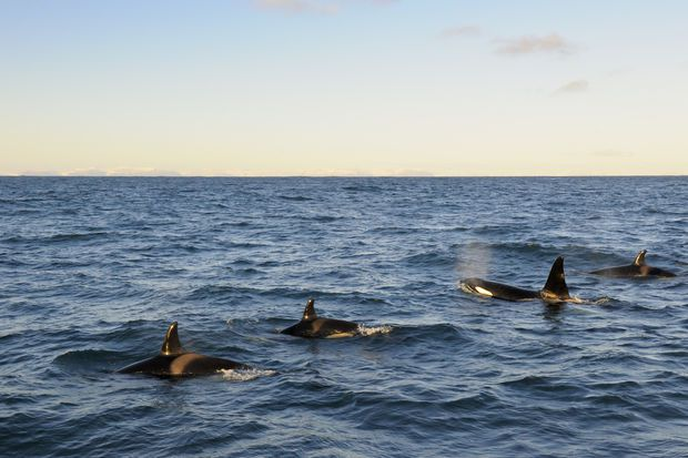 Orca whales in Iceland