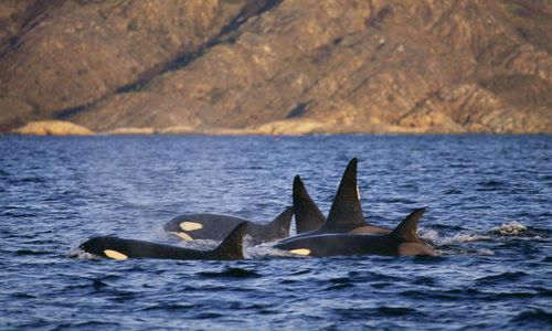 Orca Whales in Norway