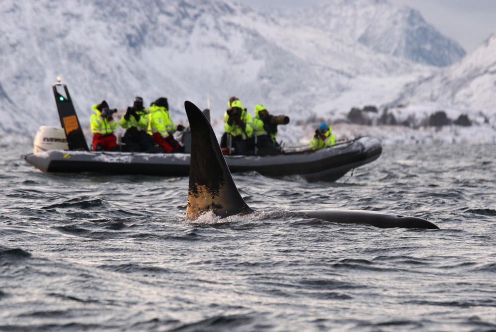 Orca whale watching excursion in Tromso Norway