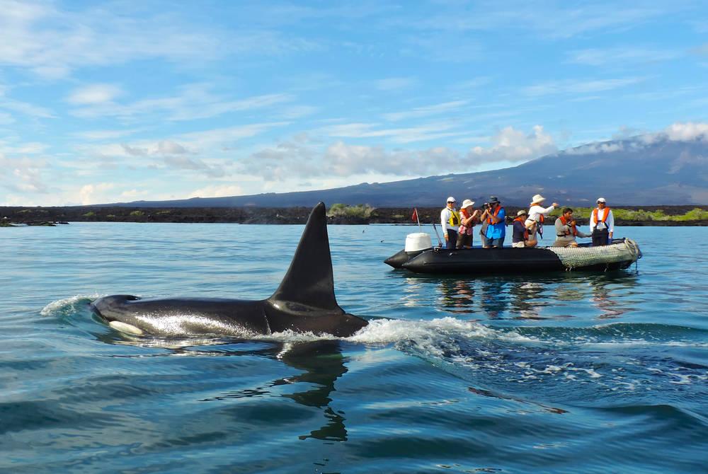 Orcas, Santa Cruz II Yacht, Galapagos
