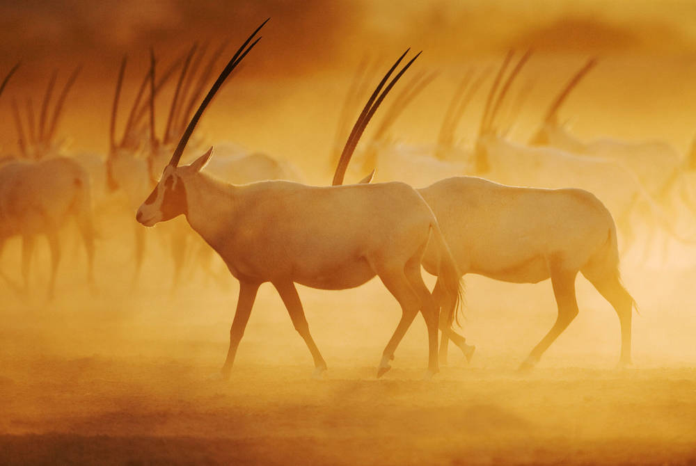 Oryx, Anantara Desert Islands Resort & Spa