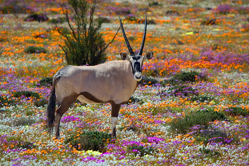 Oryx and wildflowers in Namaqualand, Northern Cape, South Africa