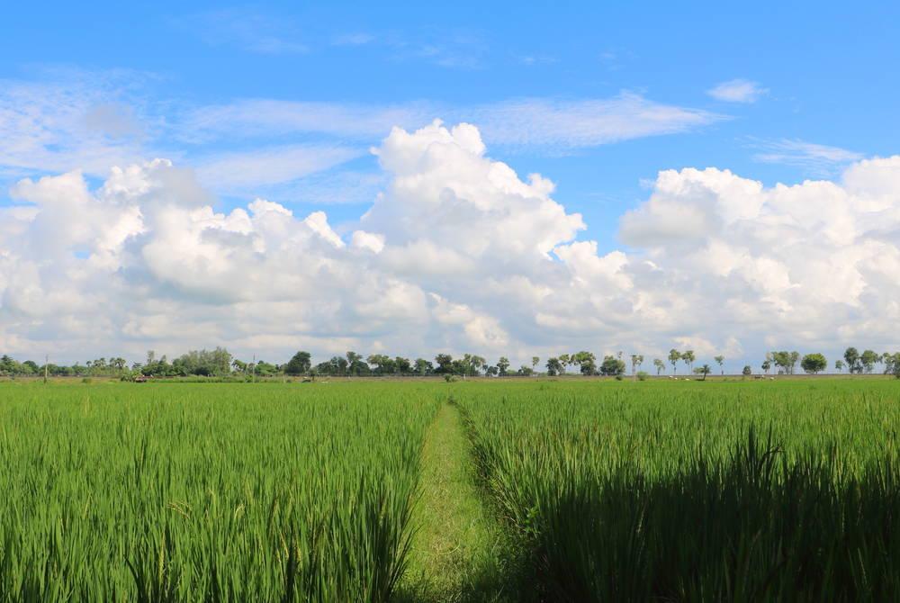 Paddy field, Katwa