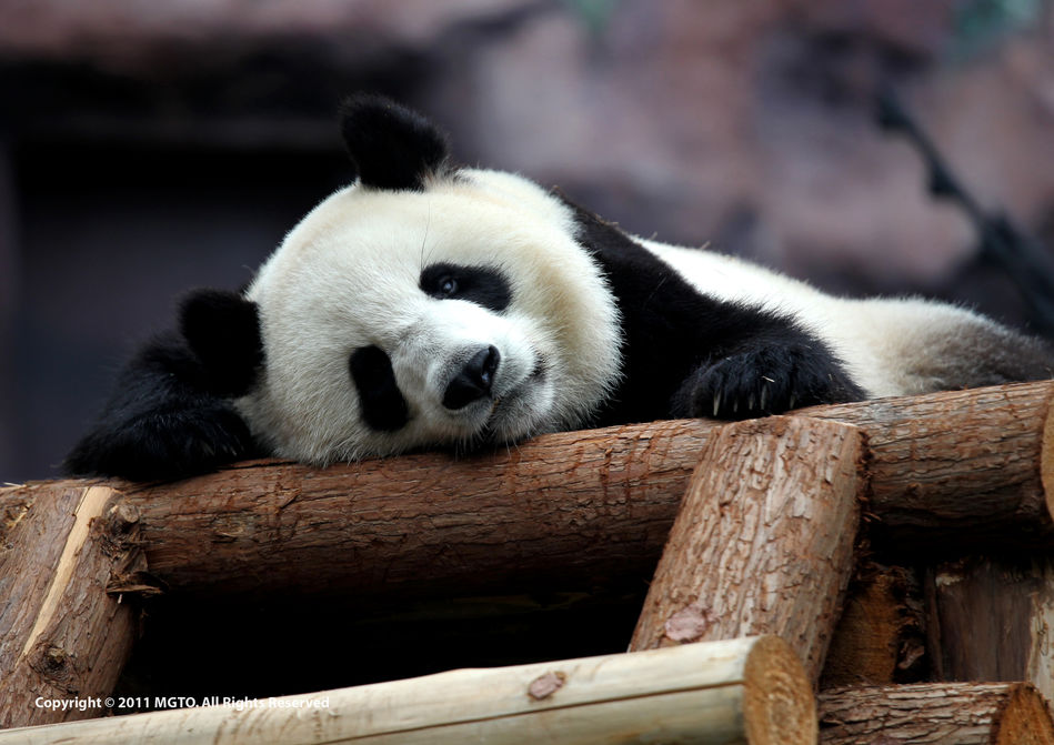 Giant Panda Pavilion, Macao