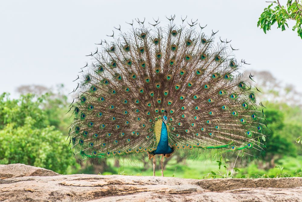Peacock, Yala National Park