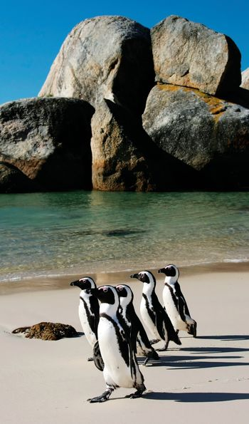 Penguins at Boulders Bay, Cape Town in South Africa