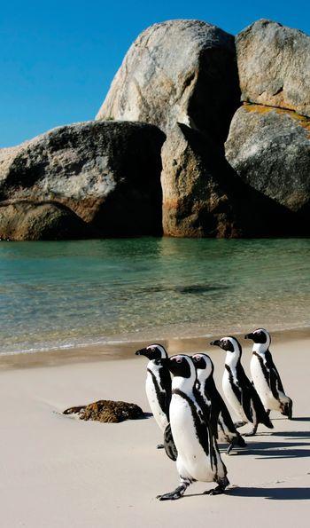 Penguins, Boulders Bay, South Africa
