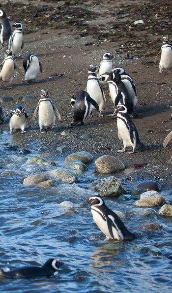 Penguins, Magdalena Island, Chile