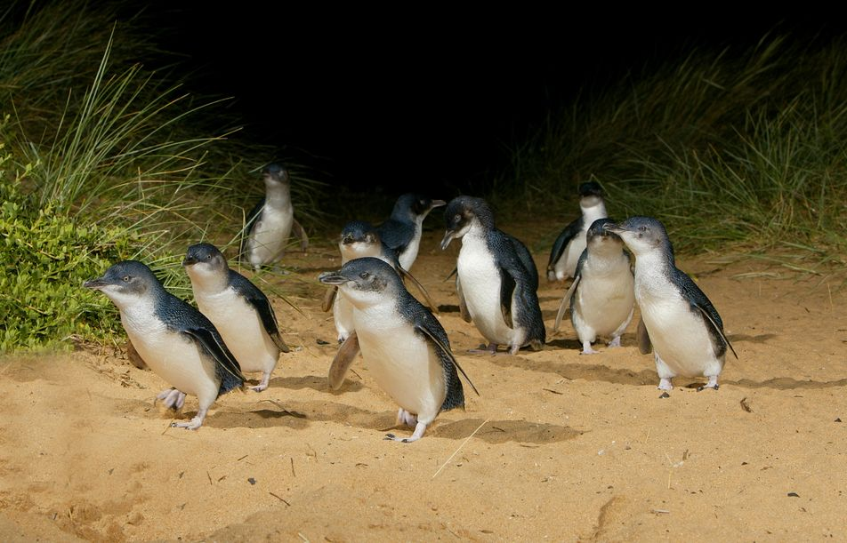 Penguins of Phillip Island