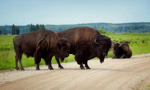 Plains Bison, Riding Mountain National Park, Manitoba