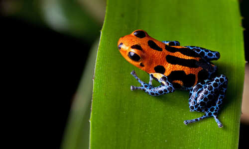 Poison Dart Frog, Amazon, Peru