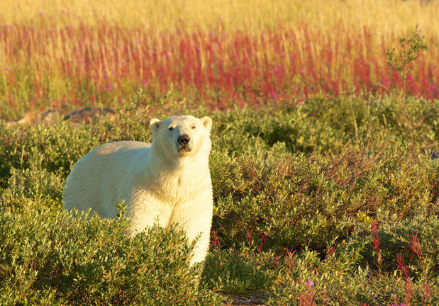 Polar bear roaming in Manitoba's summer meadows