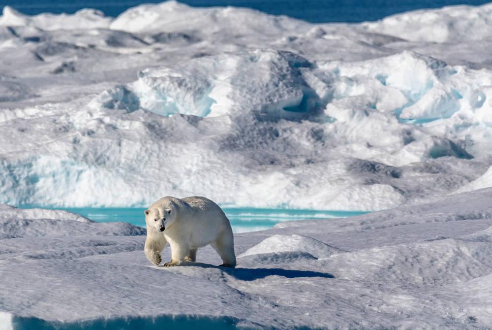 Polar bear, One Ocean Expeditions