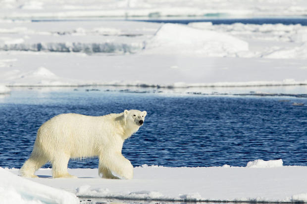 Polar bear in Spitsbergen, Svalbard