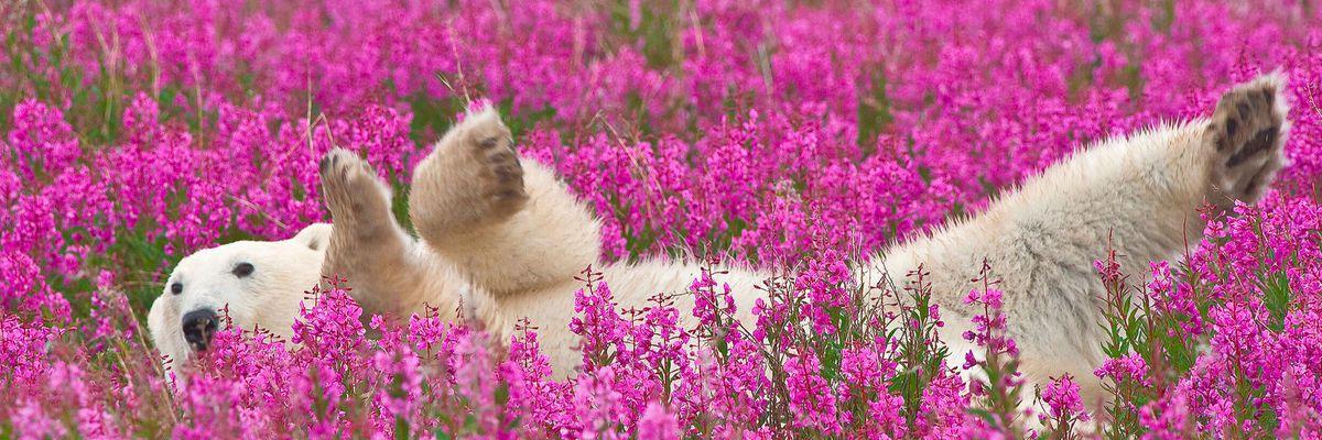 Polar Bear near Churchill, Manitoba
