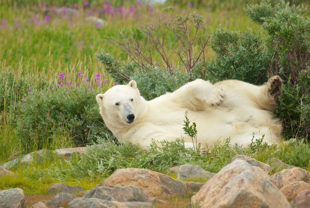 Polar Bear of Churchill, Manitoba