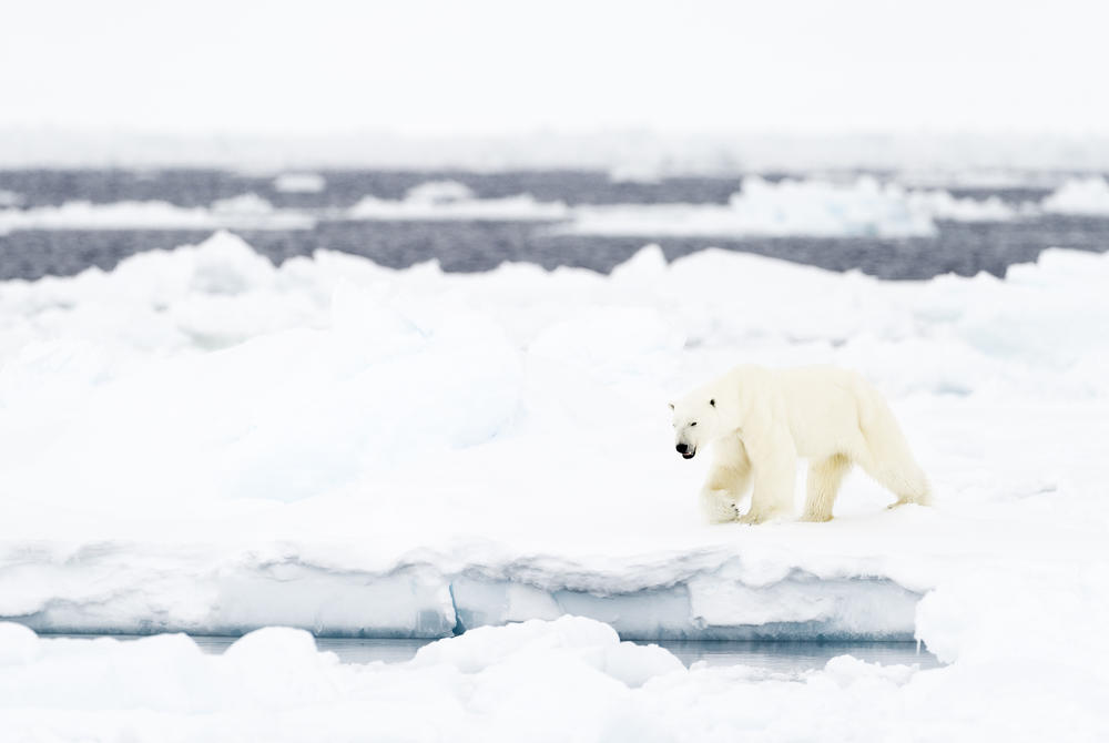 Polar bear, Nunavut