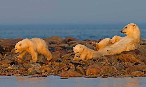 Polar Bears - Churchill Manitoba