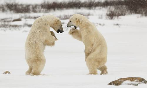 Polar Bears, Churchill, Canada