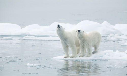 Polar Bears at Svalbard