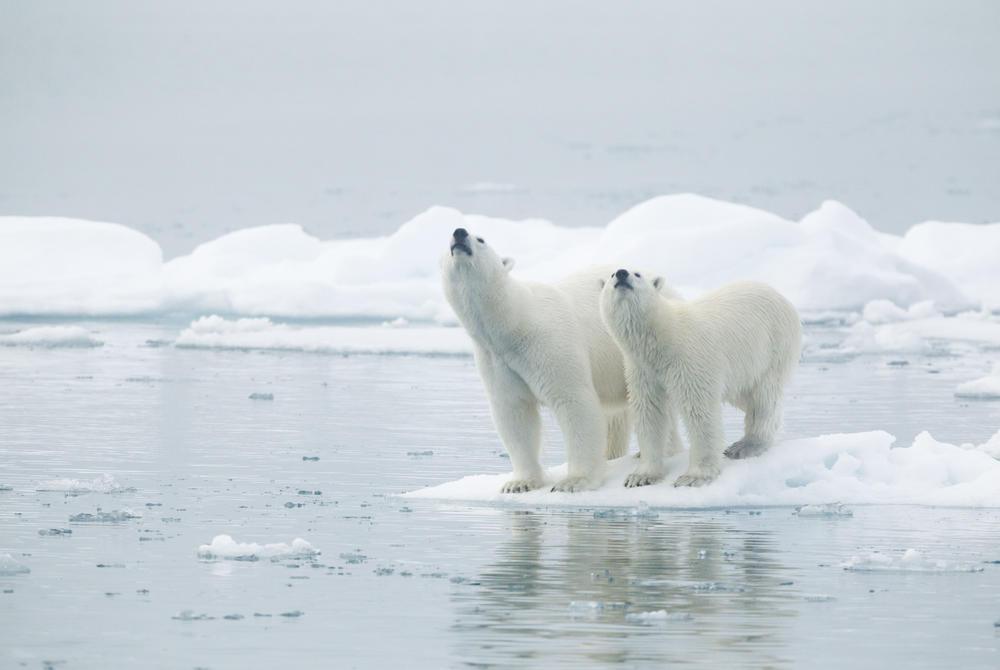 Polar bears on the ice in Svalbard
