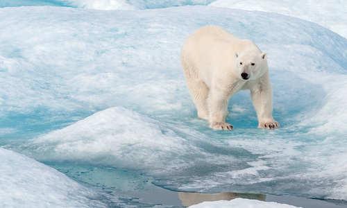 Polar bear, Ponant (credit: Laurence Fischer)