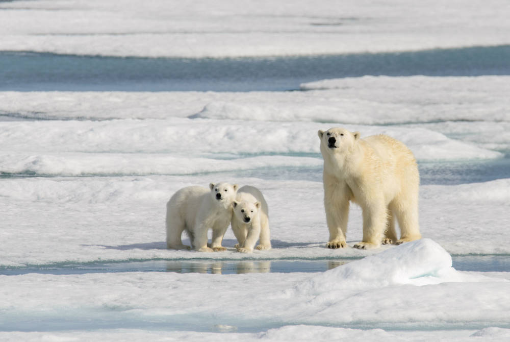 Polar bear and her cubs in Svalbard