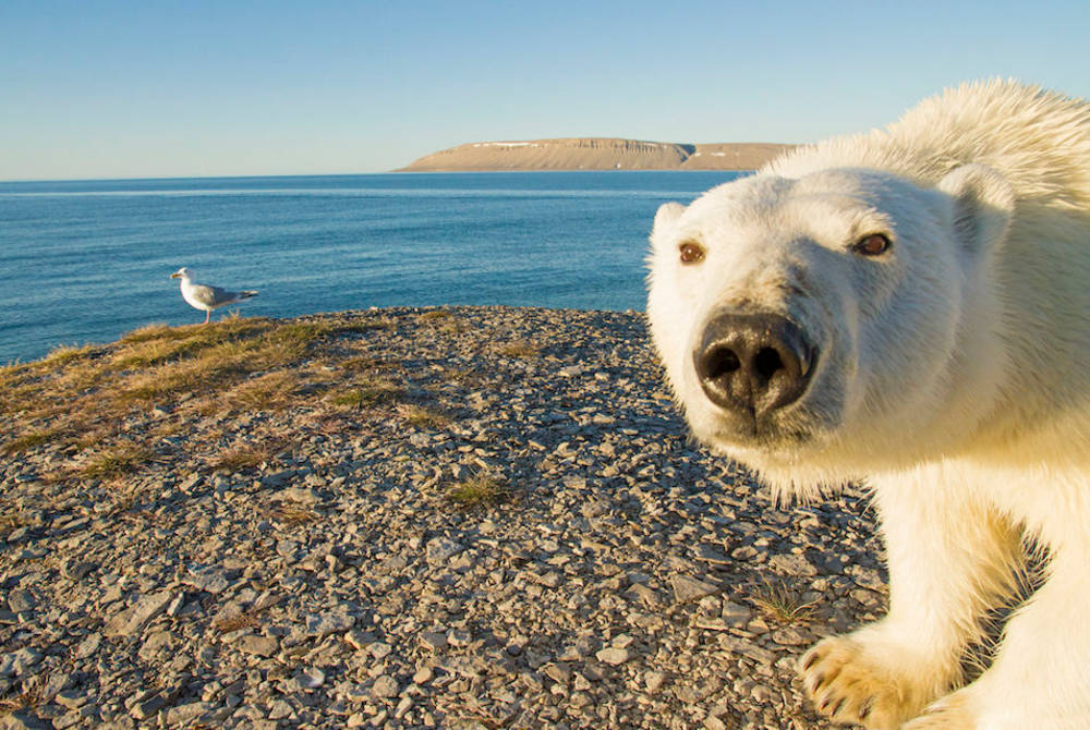Polar bear curiously looking at a motion sensor camera near Arctic Watch