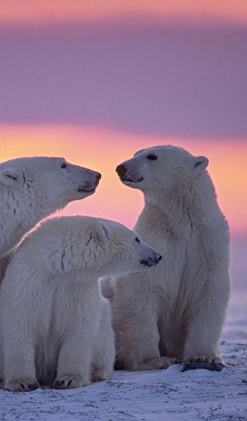 Polar bears, Nunavut