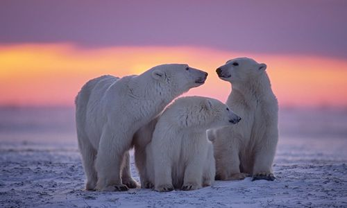 Polar bear family in Canadian Arctic sunset, Canada