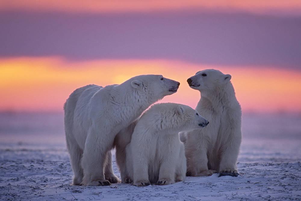 Polar bear family in Canadian Arctic sunset, Canada