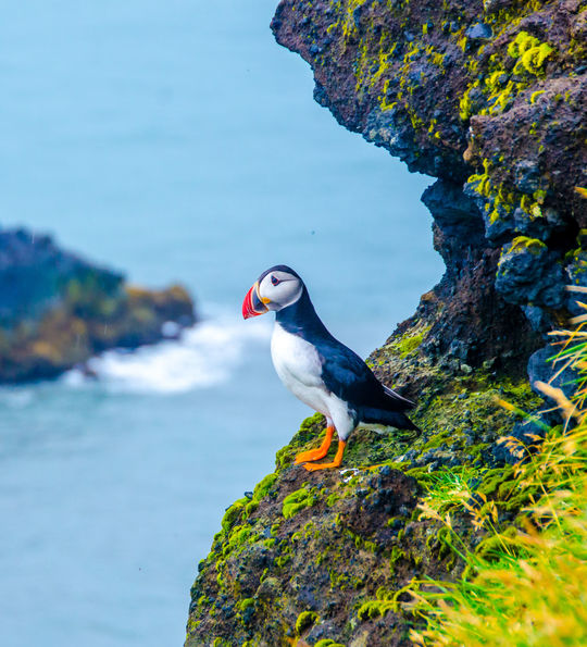 Puffins at Svalbard