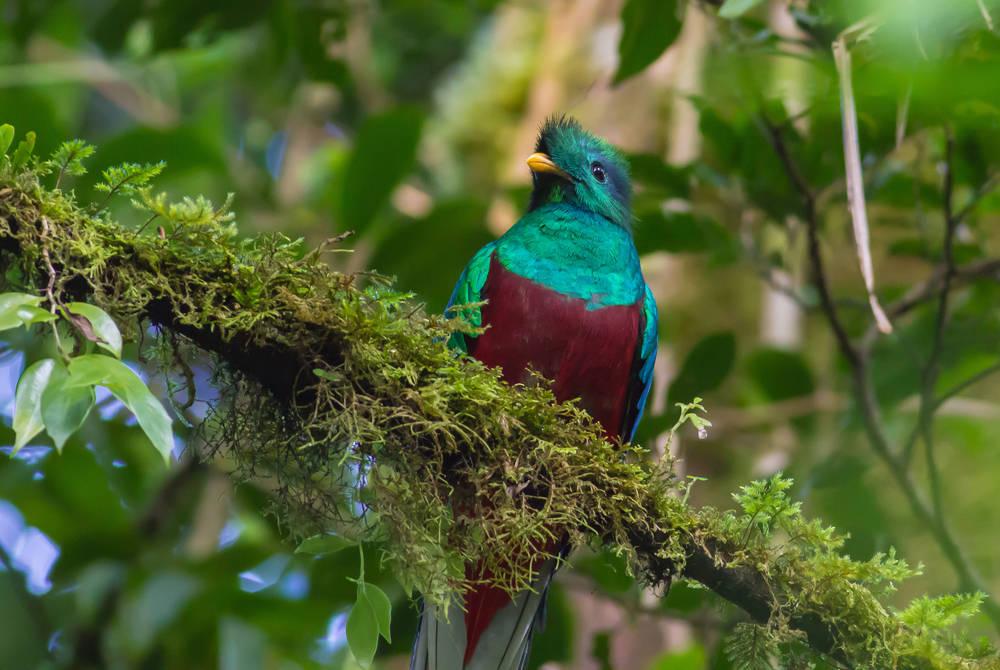 Quetzal, Monteverde