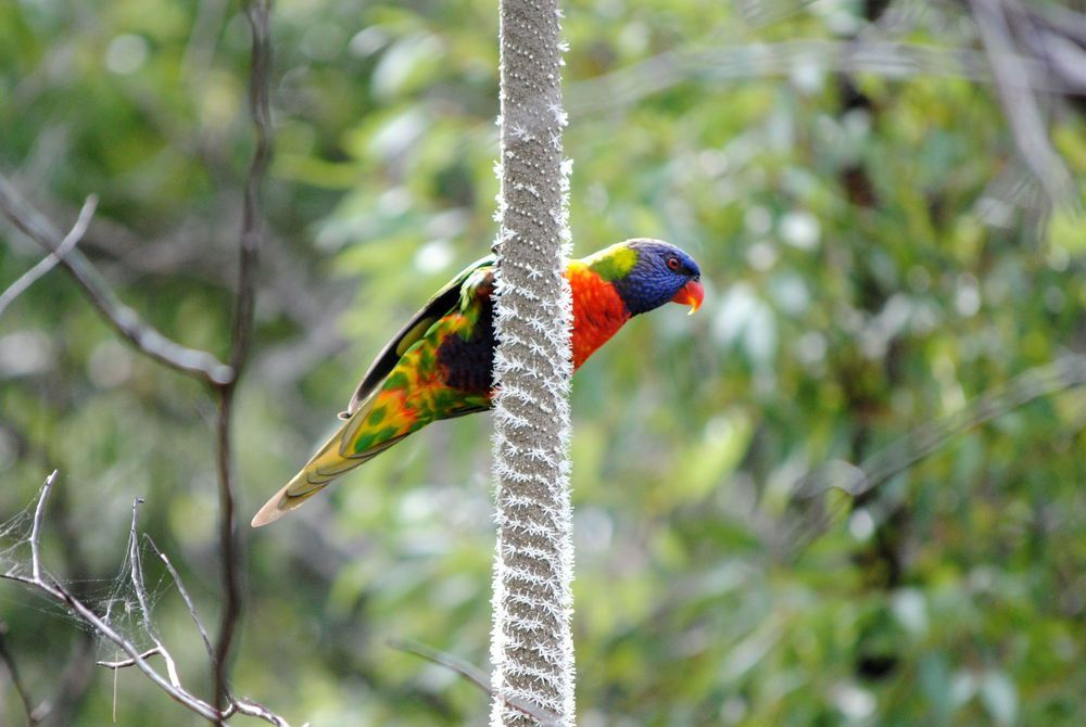 Rainbow Lorikeet in Noosa, Queensland