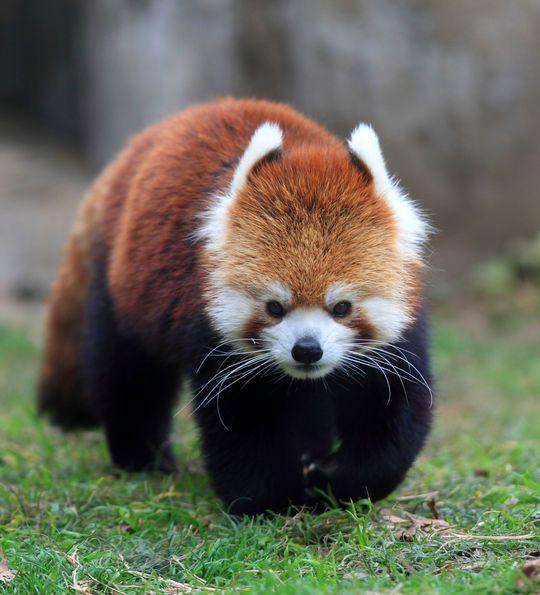 Red Panda of Bhutan