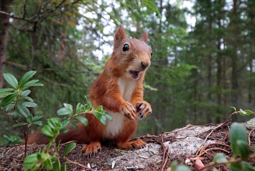 Red squirrel (Credit: Sara Wennerqvist)