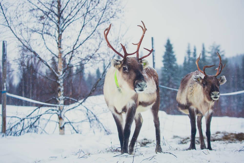Reindeer, Alta