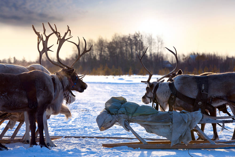 Reindeer ride, Finnish Lapland