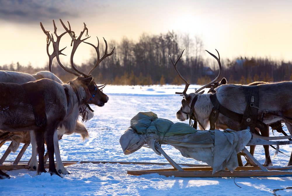 Reindeer, Finnish Lapland