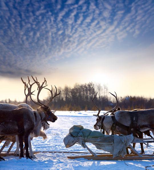 Reindeer, Finnish Lapland, Finland