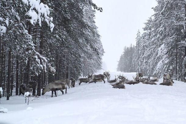 Reindeer, Luleå