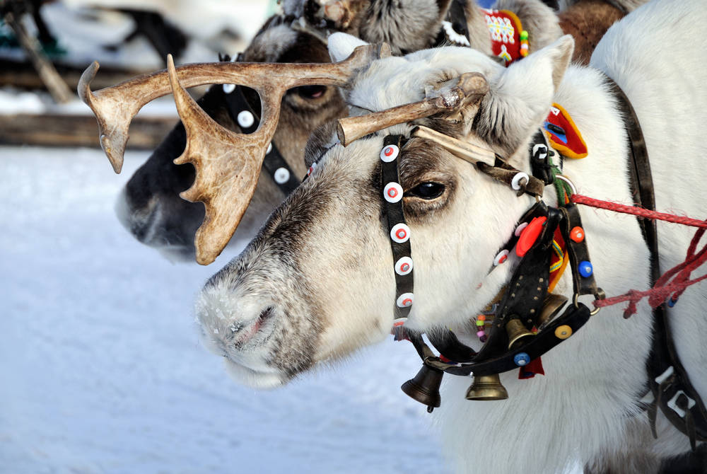Reindeer ride, Finnish Lapland